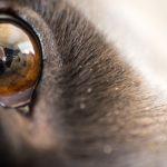 Macro dog eye