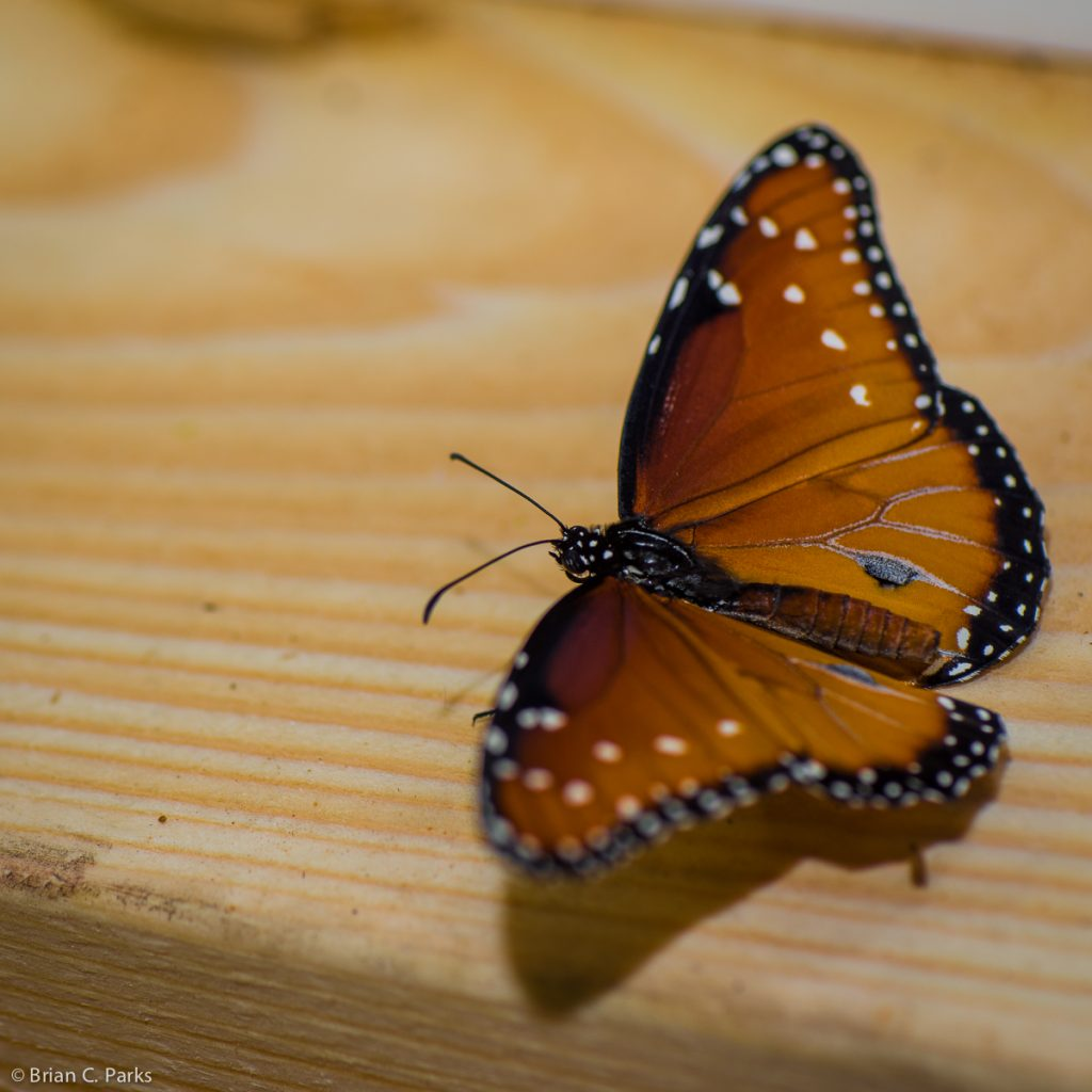 Butterfly at Butterflies Alive! exhibit