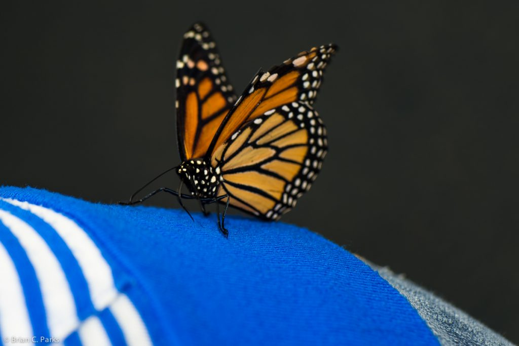 Hitchhiker at Butterflies Alive! exhibit